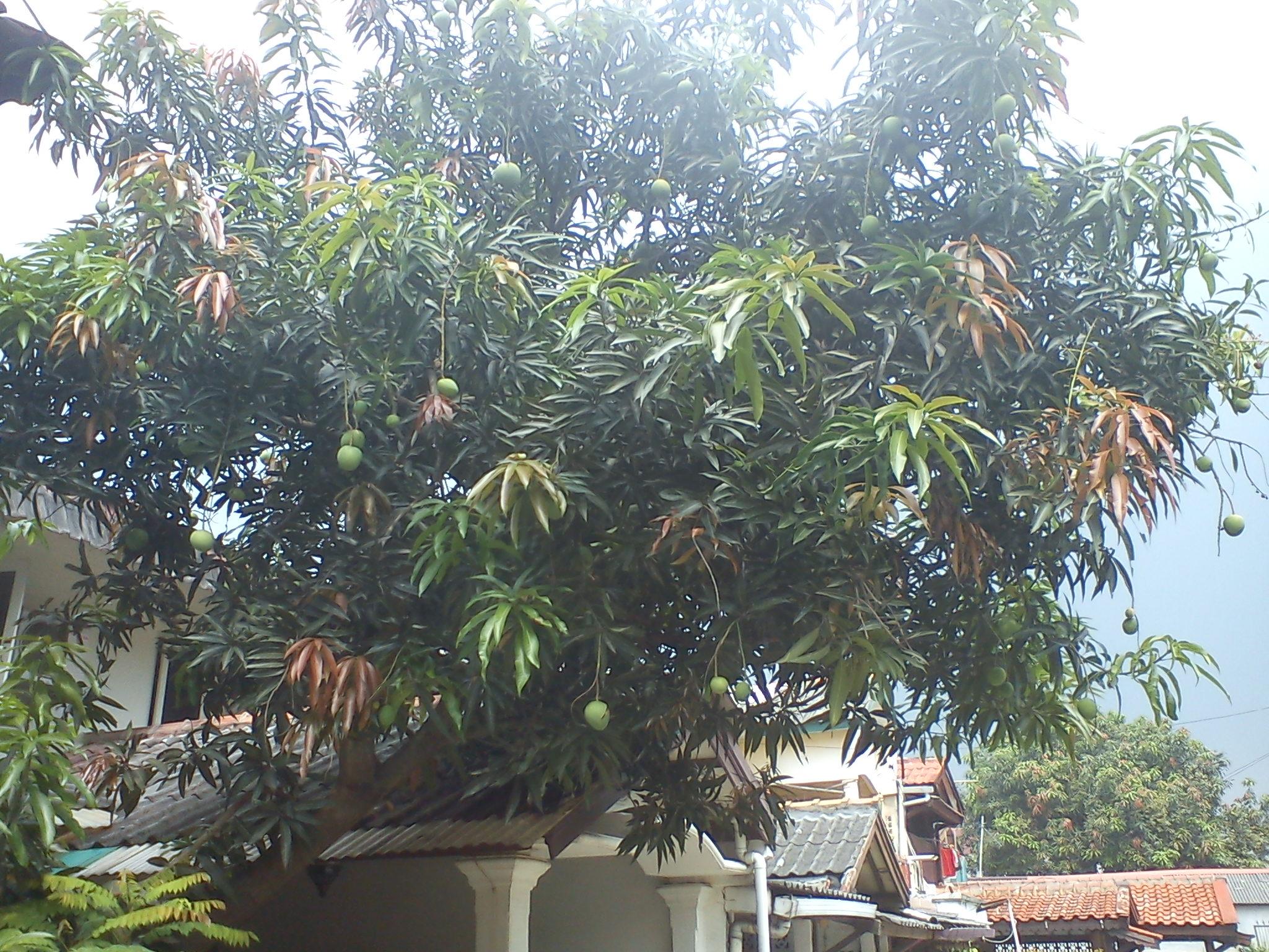 Mangga Berbuah Besar Pohon Mangga Ini Berbuah